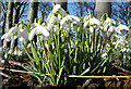 NJ2563 : Harbingers of Spring by Anne Burgess