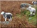 NY3008 : Posing sheep near Easedale Tarn by Graham Robson