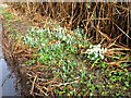 SP9201 : Snowdrops on verge of Browns Road by Alex McGregor