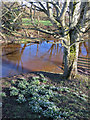 SE9884 : Snowdrop patch, Ayton Bridge by Pauline E
