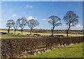 NZ3042 : Sherburn Grange trees by Paul Harrop