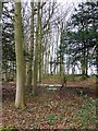 NZ0971 : Beech wood with snowdrops by Oliver Dixon