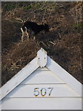 SZ1191 : Boscombe: goat above beach hut 507 by Chris Downer