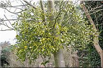 TQ3499 : Mistletoe, Myddelton House, Enfield, Middlesex by Christine Matthews