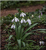 TQ3499 : Snowdrops (gallanthus), Myddelton House, Enfield, Middlesex by Christine Matthews