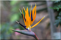 TQ3499 : Bird of Paradise Flower in Greenhouse, Myddelton House, Enfield, Middlesex by Christine Matthews