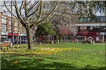 TQ3296 : Crocus on Library Green, Enfield by Christine Matthews