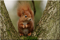 """SZ5885 : """"And next ... another nut!"""" by Peter Trimming"""