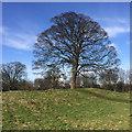SE7971 : English oak by Pauline E