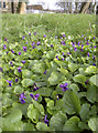 ST5769 : Violets at St Oswald's by Neil Owen