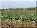 TM1195 : Oilseed rape crop beside Broom Road by Evelyn Simak
