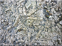 SD8283 : Crinoid fossils on the Pennine Bridleway by Karl and Ali
