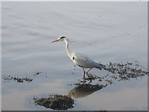 NT9953 : Heron on the edge of the River Tweed by Graham Robson