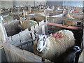 SK9700 : Sheep and lambs at Manor Farm, Tixover by Marathon