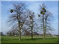 TQ1668 : Mistletoe in Home Park by Marathon