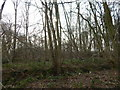 TL9543 : Langley Wood, Round Maple by Hamish Griffin