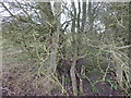 TL9543 : The edge of Langley Wood, Round Maple by Hamish Griffin