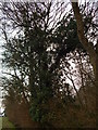 TL9543 : Ivy covered tree in Langley Wood, Round Maple by Hamish Griffin