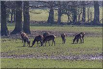 TQ3643 : Deer, British Wildlife Centre, Lingfield, Surrey by Christine Matthews
