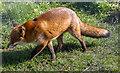 TQ3643 : Fox, British Wildlife Centre, Lingfield, Surrey by Christine Matthews