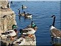 SO1210 : Mallards and canada geese, Bryn Bach Park by Robin Drayton