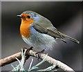 NJ2469 : A robin (Erithacus rubecula) by Walter Baxter