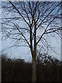 TL9543 : Ash tree in Round Maple by Hamish Griffin