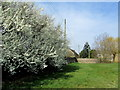 SE3851 : Blossom on the Green at North Deighton by Chris Heaton