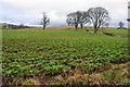 NY5442 : Field of beet at Kirkoswald by Bill Boaden