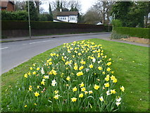 TQ1665 : Daffodils next to Claygate Lane by Marathon