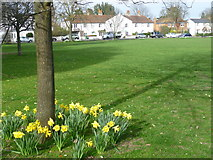 TQ1666 : Daffodils on Giggs Hill Green by Marathon