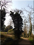 TM1645 : Ivy covered trees in Christchurch Park by Hamish Griffin