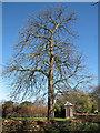 TQ3876 : Chestnut tree budding by Stephen Craven