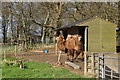 SN0802 : Pembrokeshire : Manor House Wildlife Park - Camels by Lewis Clarke