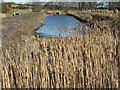 NT7077 : Reedmace or Bulrush [Typha latifolia] by M J Richardson