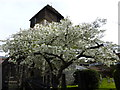 TR1458 : Ornamental cherry tree by St. Alphege's church, Canterbury by pam fray