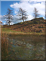 SD4293 : Larches above a tarn, Batemanfold Allotment by Karl and Ali