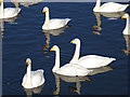 NY0565 : Whooper Swans on Whooper Pond, Caerlaverock WWT by Oliver Dixon