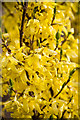 SK9205 : Forsythia Detail by Alice Batt