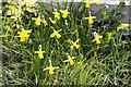 SK9205 : Miniature Daffodils by Alice Batt