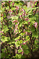 SK9205 : Budding Ribes sanguineum (Flowering Currant) by Alice Batt