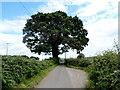 SO3104 : Dominant oak, Croes y Pant Lane by Jaggery