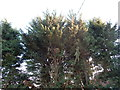 TL9739 : Fir trees in Calais Street by Hamish Griffin