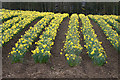 NO2649 : Field of daffodils, Balloch, Alyth by Mike Pennington