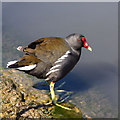 TQ2482 : Moorhen by the canal by David P Howard