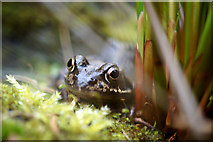 SJ3999 : Common Frog (Rana temporaria) by a garden pond, Melling by Mike Pennington
