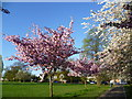 TQ4374 : Blossom in Eltham Park South by Marathon