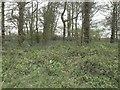 TG1435 : Bluebells in woodland on Barningham Park by Adrian S Pye