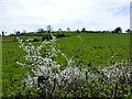 H4373 : Hawthorn blossoms, Mullaghmenagh Upper by Kenneth  Allen