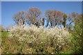 SX4672 : Trees, Shillamill by Derek Harper